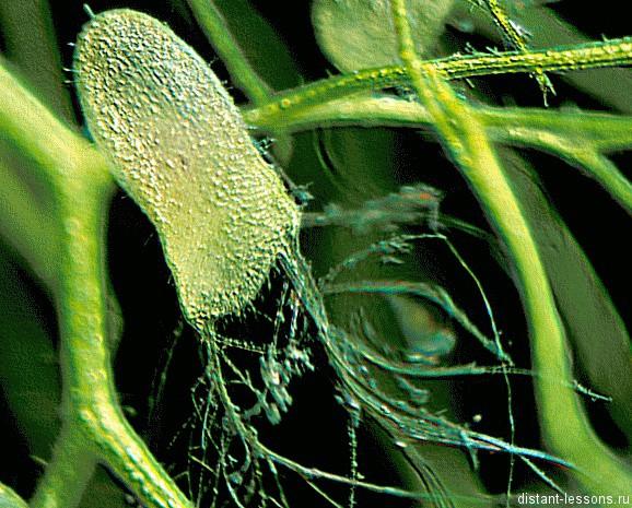 хищное водное растение