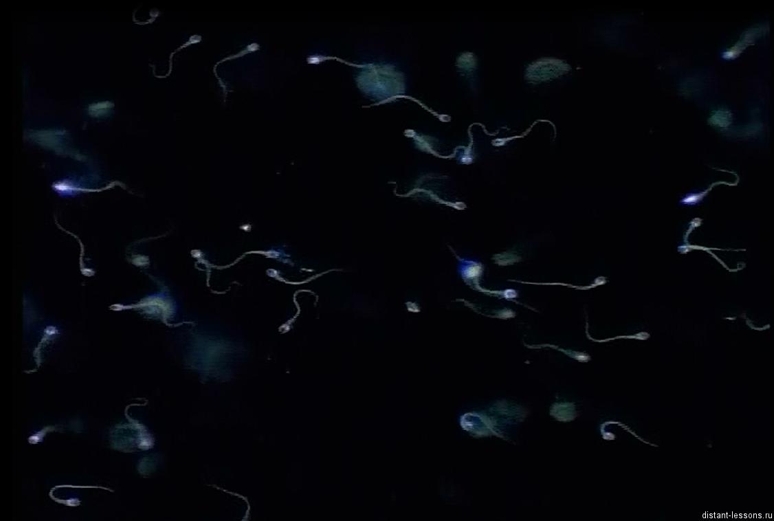 Стадии гаметогенеза