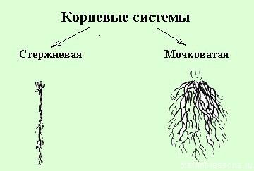 мочковатая и стержневая