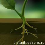 Строение корня растения
