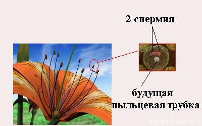 строение пыльцевого зерна