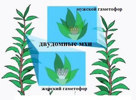 Гаметофит(гаплойдный организм) доминирует в жизненном цикле мхов: он осуществляет и половое размножение...