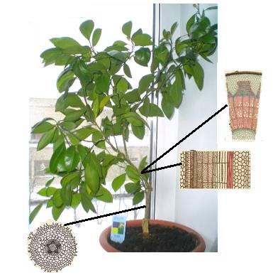 tkani rastenia Ткани растений