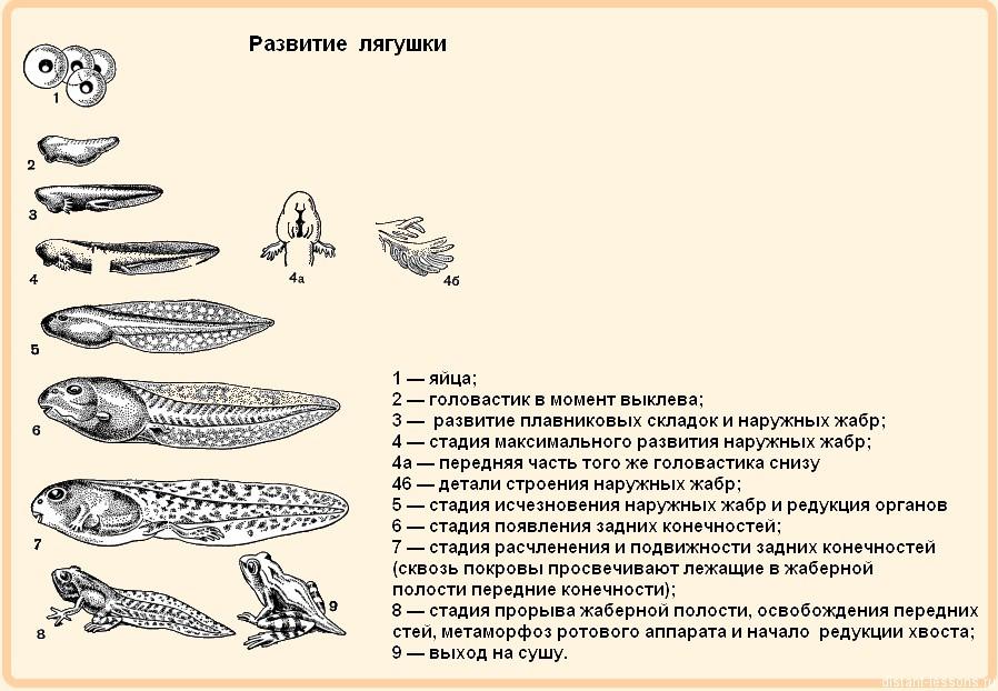 земноводные или амфибии