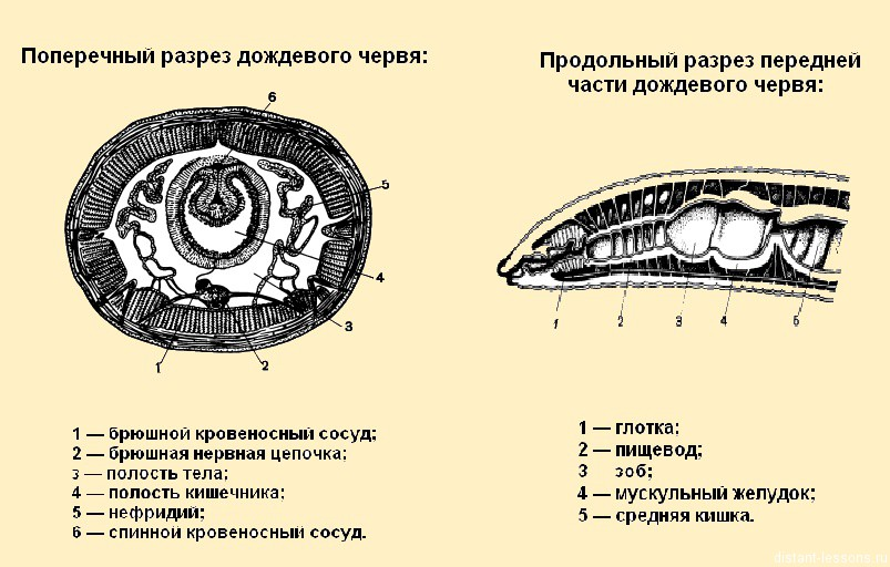строение кольчатых червей