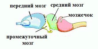 мозг пресмыкающихся