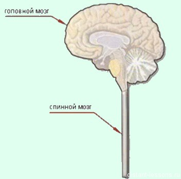 centralnaja nervnaja sistema Строение спинного мозга