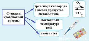 funkcii krovenosnoj sistemy 300x137 Кровеносная система человека