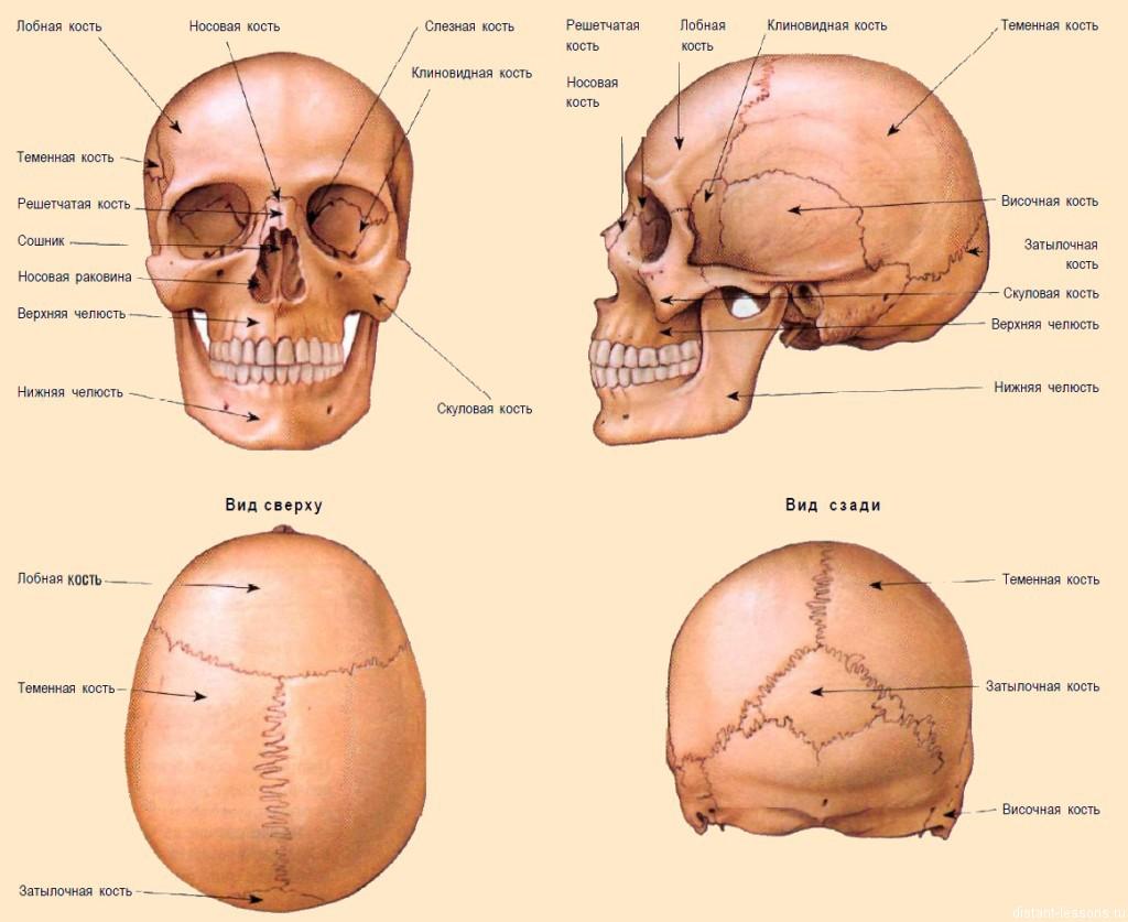 Human anatomy bone