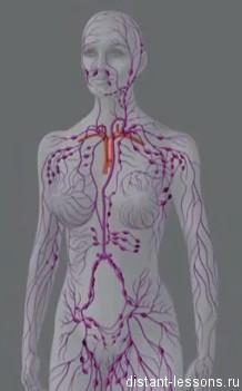 limfosistema Лимфатическая система человека
