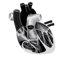 serdce Сердечный цикл и кровяное давление