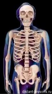 skelet Опорная система человека