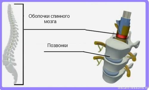 spinnoj mozg Строение спинного мозга