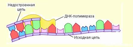 фермент ДНК - полимераза