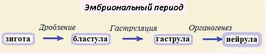 этапы эмбриогенеза
