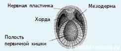 нейрула