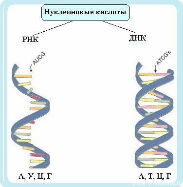 нуклеиновые кислоты ДНК и РНК