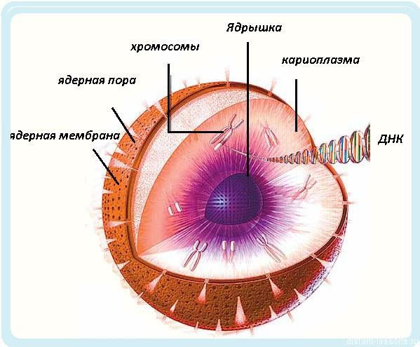 Где находится днк человека, клетка содержит днк в