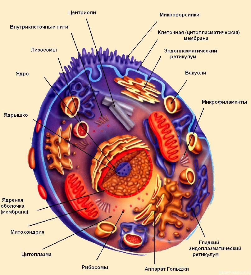 Строение и функции клетки