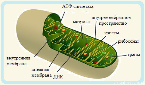 строение и функции митохондии
