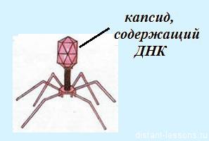 структура вирусов