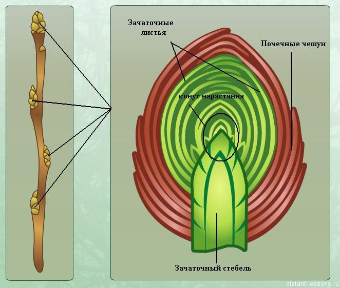 вегетативные почки