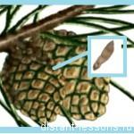 строение семени голосеменных растений