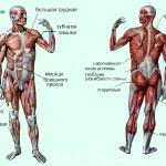 Двигательная система человека