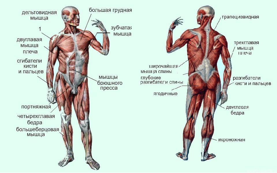 мышечная система человека.