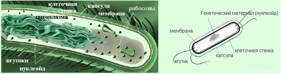 клетка бактерии