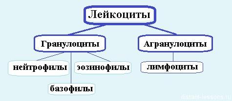 лейкоциты крови человека