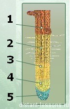 тест строение корня