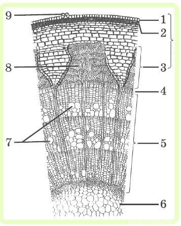 Тест строение стебля