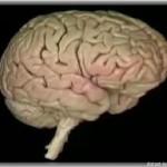 Отделы мозга и их функции