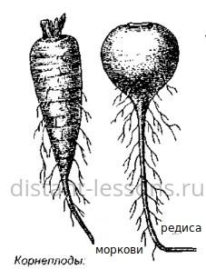 строение корня растений
