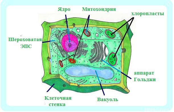 клетка растения названия узнать действительно