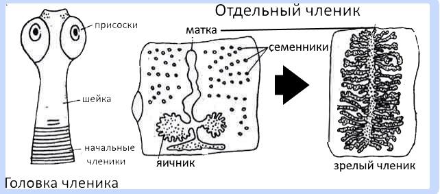 тип плоские черви