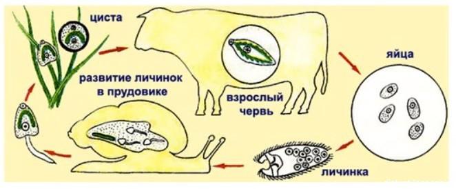 Печеночный сосальщик это плоский червь