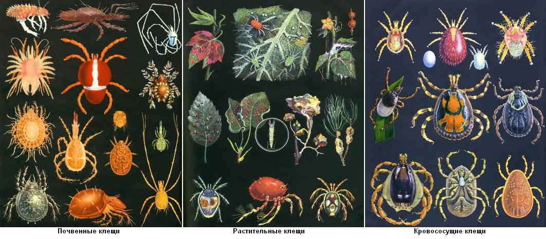 строение паукообразных