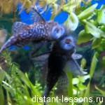 Тип хордовые рыбы