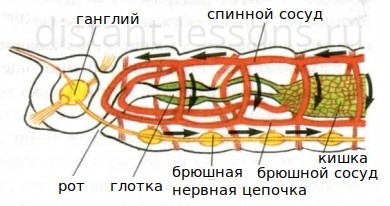 тип кольчатые черви