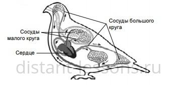 характеристика класса птиц
