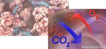 Бронхов в дыхательной системе thumbnail
