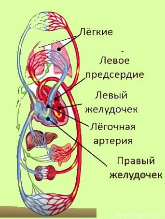 кровеносная система чедлвека