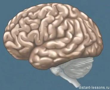 основные отделы мозга
