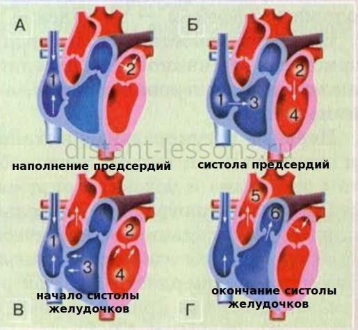 сердечный цикл и кровяное давление