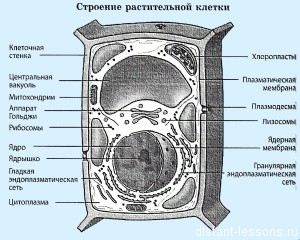 клетка растений