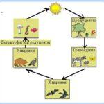 Пищевые цепи и сети