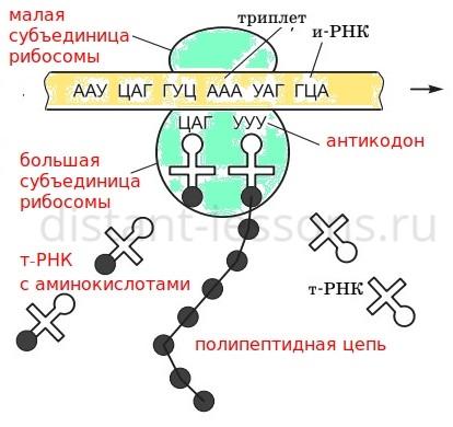 молекула РНК