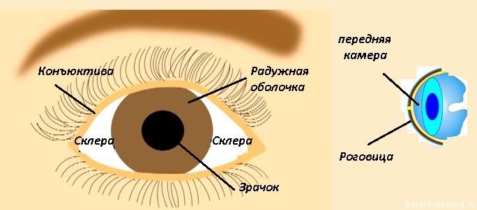 Органы чувств человека Строение глаза Дистанционные уроки внешняя часть глаза